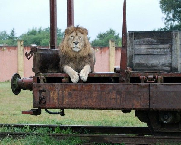 fond d'écran lion - Page 2 095d3ba9