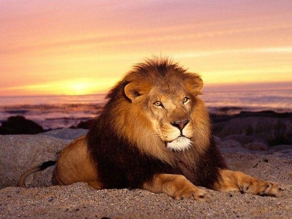 fond d'écran lion 17a41082