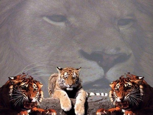 fond d'écran lion - Page 3 2c3c3a6f