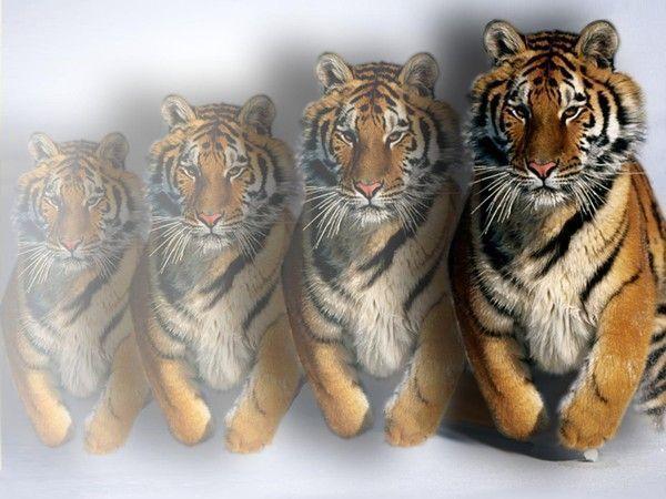 Fond d ecran tigre page 8 - Felin de la savane ...