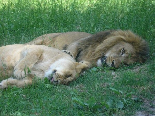 fond d'écran lion 3e658cbd