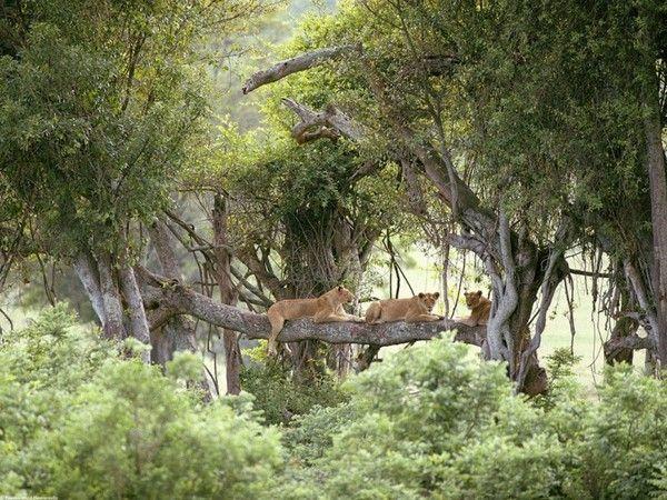 fond d'écran lion 46852e5e