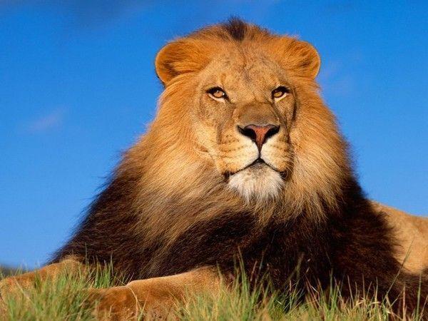 fond d'écran lion 4c501190