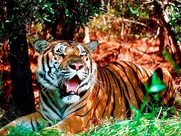 fond d ecran tigre