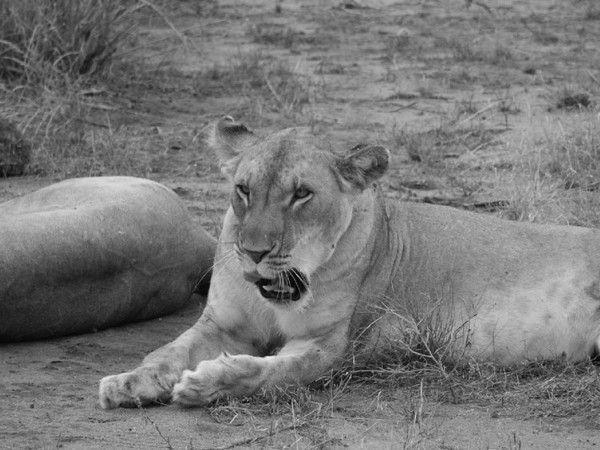 fond d'écran lion 61fed34b