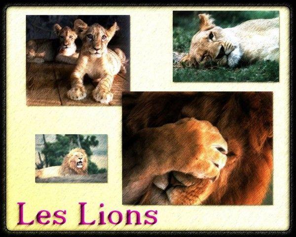 fond d'écran lion 6a8b9849