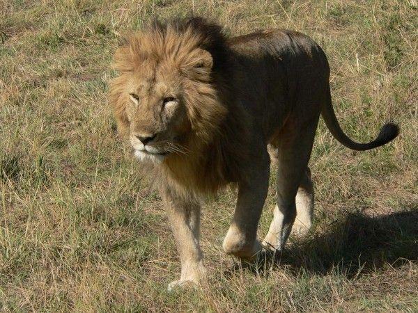fond d'écran lion 6f6bdbb3