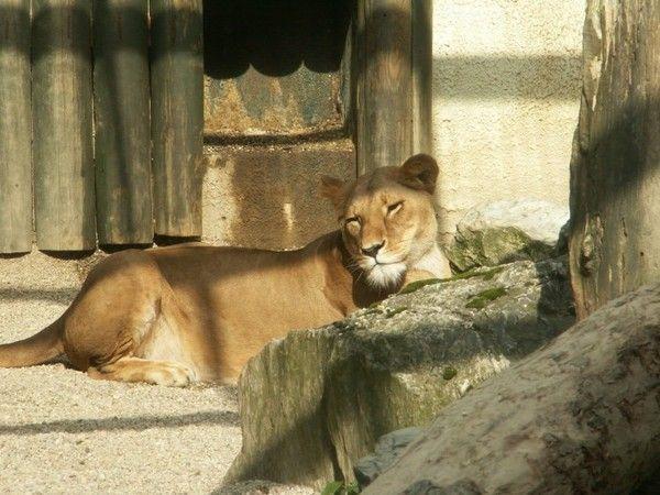 fond d'écran lion 7cf211f0