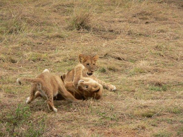 fond d'écran lion 96140650