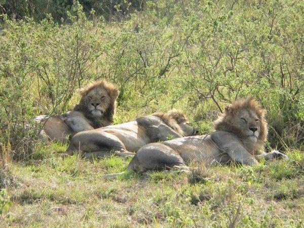 fond d'écran lion A36b2668