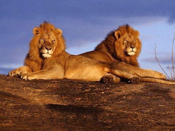 fond d'écran lion A9946921