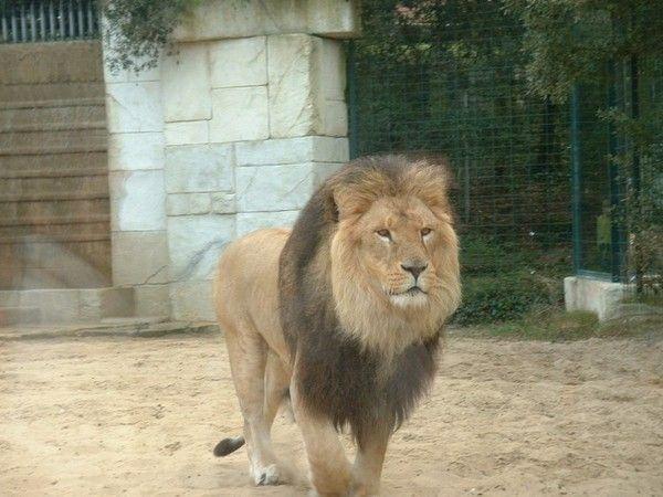 fond d'écran lion Dcad8858