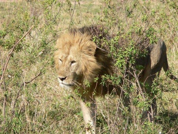 fond d'écran lion Dfe6ce6a
