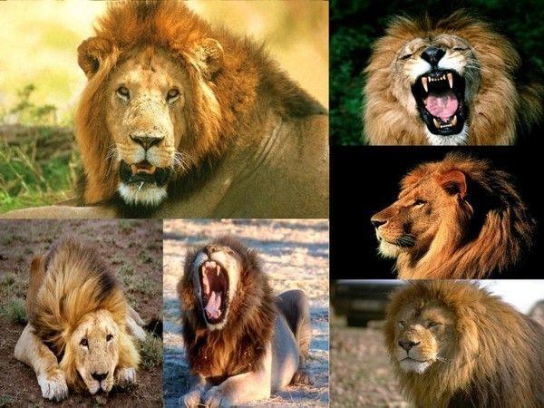 fond d'écran lion E25b34f7