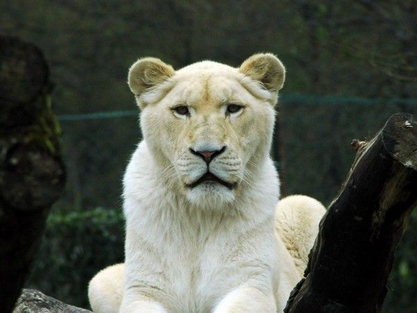 fond d'écran lion F01b7376
