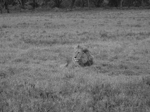fond d'écran lion - Page 2 F328cce4